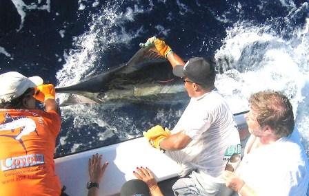 Blue_Marlin,Bahia,Braszil_WM